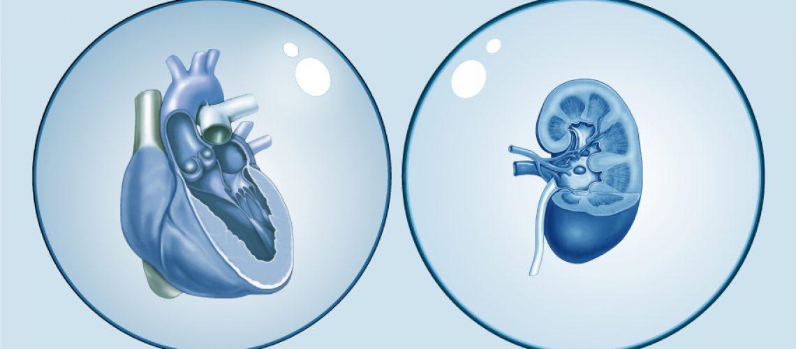 Medizinische Illustration von Herz und Niere